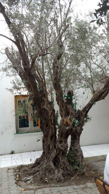 Hazreti Musanın bastonundan yeşeren ağaç, 3500 yaşında olmalı..